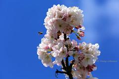 The flowers & the bee (tommyajohansson) Tags: flowers kewgardens flower london primavera fleur kew fleurs geotagged spring blumen blomma blume blommor printemps botanicgardens royalbotanicgardens frhling vr faved botanisktrdgrd tommyajohansson