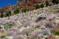 Wild Flowers - Mount Teide (Malcolm Bull) Tags: flowers wild mount tenerife teide include dsc1760edit
