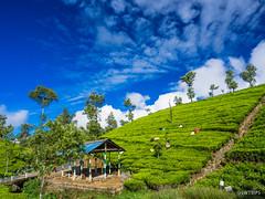 Dambetenne Tea Plantation (4) - Haputale, Sri Lanka.jpg (SWTRIPS) Tags: green landscape tea seat roadtrip sri lanka plantation srilanka teaplantation liptons liptonsseat swtrips
