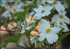 (Cliff Michaels) Tags: flowers photoshop nikon tennessee dogwood maryville d5000 pse9