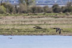 Mallards in Flight (1) (Mal.Durbin Photography) Tags: nature birds newport naturereserve newportwetlands maldurbin goldcliffnewport