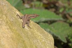 Lagartija (Ru GarFer) Tags: parque sol natural roca lagartija aia reptil guipzcoa gipuzkoa pagoeta