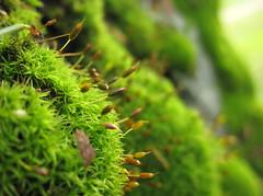Dicranum sp. (chaerea) Tags: canada nature forest woodland moss bc bryophyte