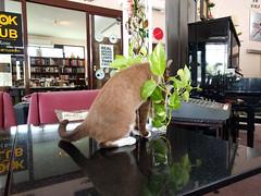 IMG_20160417_134250 (tatsuya.fukata) Tags: food animal cat thailand cafe bangkok th krungthepmahanakhon samutprakan steelroses