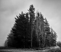 20160429_0029_1D3-17 Intersection of two tracks (120/366) (johnstewartnz) Tags: trees blackandwhite bw tree monochrome fog canon eos intersection 1740mm 1740 17mm ef1740mmf4lusm apsh 1dmarkiii 1d3 1dmark3 bottlelakeforestpark