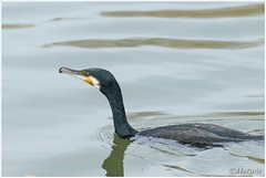 Aalscholver (HP009327) (Hetwie) Tags: duck nederland chicks mallard vijver noordbrabant helmond wildeeend wijkpark brouwhuis eendjeskuiken