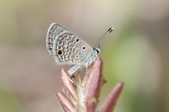 Hanno blue (Hemiargus) (fabriciodo) Tags: blue butterfly puertorico wildlife lepidoptera papillon borboleta mariposa schmetterlinge farfalle lycaenidae lpidoptre hemiargus hannoblue