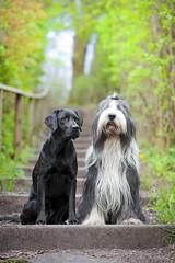 Chaotenbande (laboheme82) Tags: dog dogs labrador hund beardie beardedcollie hunde labbi