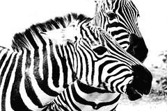 black & white (explored) (bauingenieuse) Tags: two blackandwhite white black love animals zoo tiere blackwhite spring outdoor together zebra barcode monochrom tierpark darmstadt schwarz liebe springtime frhling vivarium 2016 frhjahr weis zusammen schwarzweis explored bauingenieuse