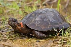 Glyptemys muhlenbergii (Kevin Stohlgren) Tags: macro turtle sony sigma maryland species bog a77 70mm clemmys threatened endangeredspeciesact federallythreatened glyptemys muhlenbergii
