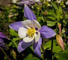 Blue Aquilegia (tresed47) Tags: flowers us pennsylvania content places columbine longwoodgardens folder takenby chestercounty 2016 peterscamera petersphotos canon7d 20160415longwoodflowers 201604apr