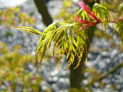 Acer palmatum Seiryu (Jrg Paul Kaspari) Tags: spring maple acer garten frhling palmatum ahorn moderner wincheringen moderngarden drachenschwanzahorn seiryu acerpalmatumseiryu