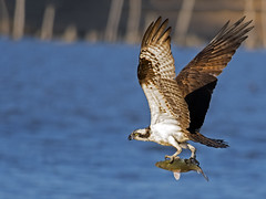 Osprey with Fish (Brian E Kushner) Tags: road new fish bird water birds animals river flying nikon maurice wildlife birding flight dive 300mm landing ii watershed jersey matts nikkor grab osprey afs pandionhaliaetus d500 birdwatcher delawarebay edif tc14 heislerville nikond500 f40d bkushner lens300mmf4nikortc14e brianekushner nikonafsnikon