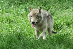Timber Wolf 2 (Bram Blenk) Tags: wild animals parcomega