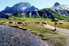 Alpen-Kuhe (welenna) Tags: blue schnee summer sky mountain snow mountains alps animals switzerland tiere kuh cow swiss berge alpen berneroberland adelboden engstligenalp schwitzerland