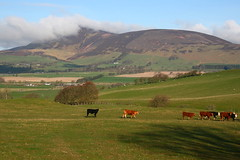 Tinto Hill and cows, 23-4-2016 (Plane Buddy) Tags: mist scotland hill summit tinto lanarkshire