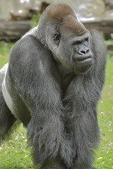An Intense Gorilla (017931_NX2) (Mike S Perkins) Tags: kansascityzoo gorilla powerful strong intense grass green threating bodylanguage male threatposture angry charge westernlowlandgorilla adult gorillagorilla