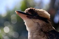 kookaburra ( Dacelo novaeguinae ) zoo de Pont Scorff 160419a2 (pap alain) Tags: france zoo bretagne morbihan kookaburra oiseaux dacelonovaeguineae laughingkookaburra captivit zoodepontscorff pontscorff alcyonids