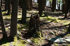 Hollow Tree Stump in the Mossy Woods (--Anne--) Tags: trees nature forest outdoors moss woods mossy
