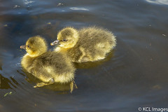 Catching Some Rays!! (KCL Images) Tags: scotland fife goose goslings sunbathing greylaggoose birnieloch