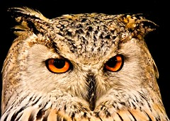 La mirada del bho (LL Poems) Tags: life wild art nature photography mono amazing spain model europe photographer natural exploring extreme fine captured picture super snap modelo adventure photograph owl stunning pro amateur mirada rare exclusive exist existance explored