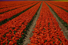 "Tulipa ""Yokohama Orange"" (larry_antwerp) Tags: flower netherlands nederland tulip tulp hulst flowerbulb zandberg"