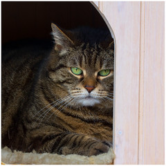 Safe haven (FocusPocus Photography) Tags: pet animal cat chat tabby gato katze cleo haustier tier getigert
