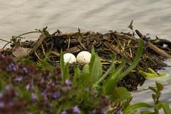 Great Crested Grebe nest (Graham Dash) Tags: birds grebe waterbirds nests wildfowl birdsnests greatcrestedgrebe podicepscristatus painshillpark painshill