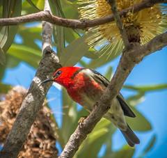 Scarlet Honeyeater (Myzomela sanguinolenta) (peter.carlsen) Tags: bird queensland honeyeater australianbirds honeyeaters petercarlsen sigma150500mmhsmos nkond7100