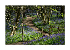 Heaven Farm bluebell wood (hehaden) Tags: wood bridge trees sunshine bluebells sussex shadows path heavenfarm