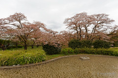 20160413-47-Pond full of cherry blossom leaves (Roger T Wong) Tags: travel holiday japan petals pond kyoto cherryblossoms canonef1740mmf4lusm botanicgardens 2016 canon1740f4l canoneos6d rogettwong