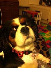 Fri, Apr 29th, 2016 Lost Female Dog - Crinkill Village, Poulnagannive Birr, Offaly (Lost and Found Pets Ireland) Tags: dog lost village april offaly 2016 crinkill lostdogcrinkillvillageoffaly