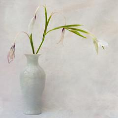 Fading beauty (Eileen Wilkinson (Vistna)) Tags: flowers printed textured 500px gladiolusmurielae bebingtonsalonnov2015