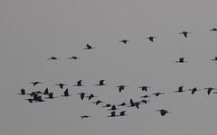 Ibis falcinelle filant vers l'Est (4 groupes, +150, +120, +100 , + 70 ) - > IMG_6075 (6franc6) Tags: 30 languedoc gard décembre 2015 petitecamargue réserve scamandre 6franc6