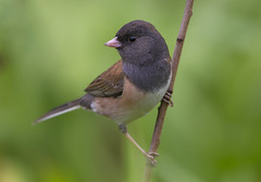 Close Junco (Hockey.Lover) Tags: birds explore darkeyedjunco unioncitylibrary