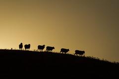 Morning landscape in rural Australia #dogwoodweek2 #dogwood52 (Bobby (shoot) MacRae) Tags: shadow grass rural sunrise bush sheep farm australia sillouette countrylife