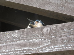 NPS Frohring Meadows 8-26-15 001 The barn swallow (Hirundo rustica) (fcom4155) Tags: ohio plant native society northeastern npsneo