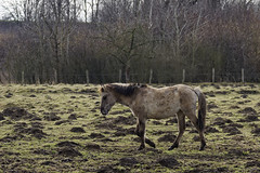 Konik-Pferde - 2016-009_Web (berni.radke) Tags: horse pferd konik konikhorses olfen steverauen konikpferde