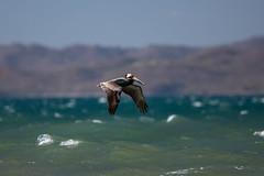 Brown Pelican (Gatria) Tags: costa brown bird america canon coast pacific mark iii playa pelican rica salinas 300mm ii bahia l 5d pelikan 28 amerika ef mk guanacaste copal