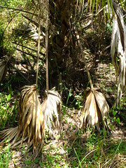 Dead Fronds (failing_angel) Tags: florida wetland esterobay fortmyers fortmyer sixmilecypressslough sixmileslough 240515 sixmilecypresssloughpreserve linearecosystem naturaldrainageway