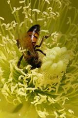 Abelha - Bee (adelaidephotos) Tags: morning flowers summer brazil cactus flores rio brasil riodejaneiro flora sunny bee abelha verão summertime cacto arpoador manhã indianfig opuntiaficusindica praiadodiabo ensolarado figueiradaíndia devilsbeach mariaadelaidesilva