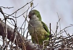 cotorra argentina (Myiopsitta monachus) (kimrodon1) Tags: barcelona aves cotorra ocells