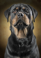 """Bella @ one-year-old (G. H. """"Jerry"""" White) Tags: portrait dog black animal canon puppy studio lumix flash rottweiler bitch filters softbox fz1000"""