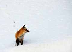 Snow Fox (jesseandteresa) Tags: grandtetonnationalpark
