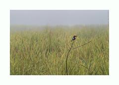 white throated kingfisher (shaan2noo) Tags: india bird nikon wildlife kingfisher grassland assam northeast kaziranga elephantgrass whitethroatedkingfisher northeastindia kohora kariranganationalpark