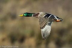 nec_collverd_001 (pepgass) Tags: bird fauna au ave mallard anasplatyrhynchos anec anade collverd anadereal deltallobregat aneccollverd anadeazulon remolarfilipines