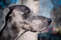 standby (VanaTulsi) Tags: dog weimaraner weim blueweimaraner vanatulsi blueweim