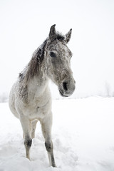 Amir (Nix Alba) Tags: horses horse nature weather grey outdoor arab arabian equine equines