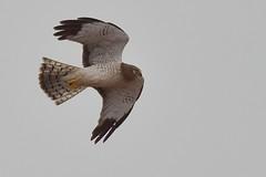 Bent Wing (thefisch1) Tags: sky bird eye flying interesting nikon calendar hawk hill flight wing diving talon kansas prey bent nikkor flint deadly oogle swooping feater
