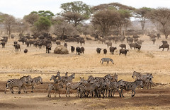 Close To The River (AnyMotion) Tags: africa travel nature animal animals landscape tanzania tiere reisen wildlife ngc natur npc afrika landschaft steppenzebra tansania 2015 synceruscaffer africanbuffalo plainszebra tarangirenationalpark anymotion equusquagga 7d2 landschaftsaufnahme afrikanischerbüffel canoneos7dmarkii canonef100400mmf4556liiisusm